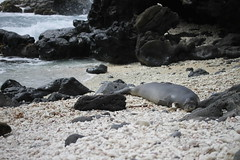 _MG_2798 (Anna Kipervaser) Tags: ocean beauty island hawaii peace oahu tranquility snorkeling pele monkseal