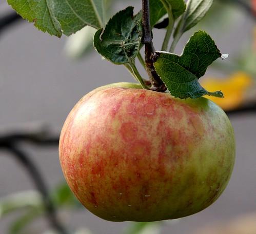 Fruit tree giveaway portland