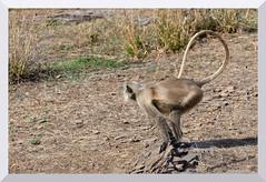 On your marks, get set go!... Common Langur (Hanuman Langur), Ranthambhore National Park (thelegendreturns (www.mybioscope.net)) Tags: india nature fauna wildlife mammals rajasthan ranthambore ranthambhore 2011 ranthamborenationalpark ranthambhorenationalpark maneeshgoal mybioscope wwwmybioscopenet