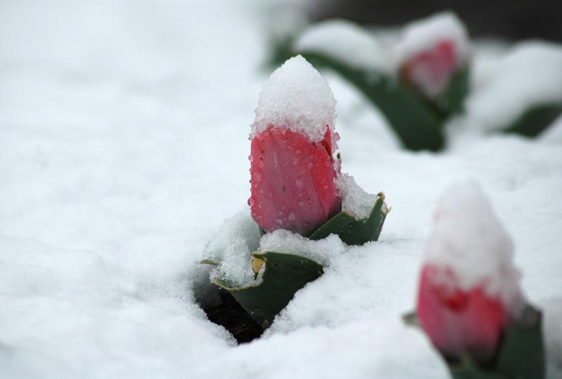 Snowy Tulips