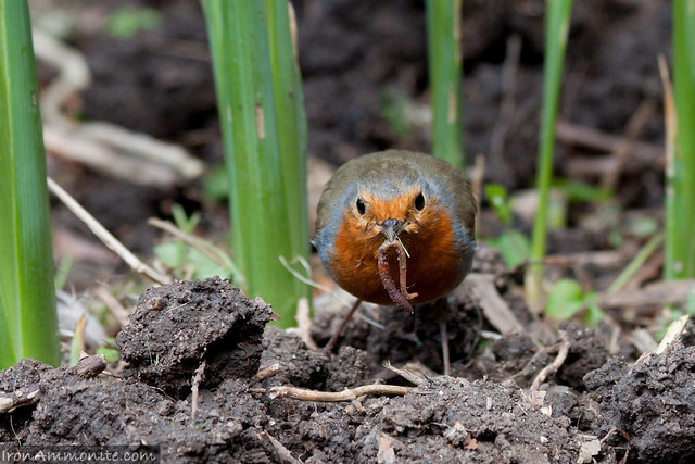 Robin with worms-2.jpg