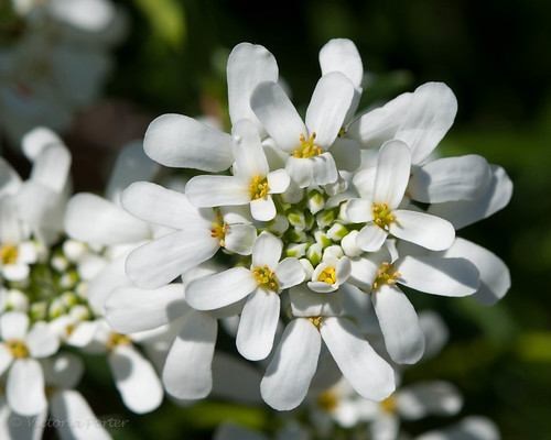Candytuft... miniature perfection in Spring Sunlight!
