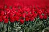festival of red (soleá) Tags: holland macro netherlands photography spring tulips lente mucho tulpen shortdof flowersofspring soleá carmengonzalez tulpenfestival2011noordoostpolder ilovemaik