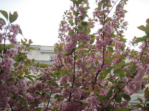 Blossoms in London