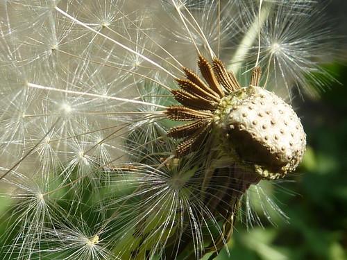 Dandelion Seeds 1