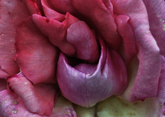Unfulfilled desire . 60 x 80 cm (thierry.ysebaert) Tags: pink autumn roses flower detail macro nature rose flora erotic colours roos romance passion romantic rozen thierry erotique macro105mm nikond90 ysebaert thierryysebaert