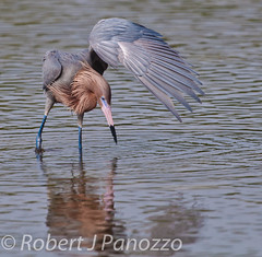 Oh Look! It's Lefty! (ChicagoBob46) Tags: bird sanibel sanibelisland egret autofocus reddishegret naturesgallery jndingdarlingnwr goldwildlife 100commentgroup thenaturesgreenpeace mothernaturesgreenearth mygearandme mygearandmepremium allnaturesparadise amazingwildlifephotography