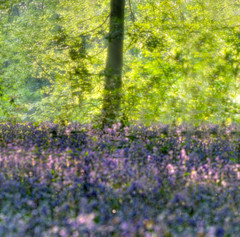 The Colours of Spring (andy p m) Tags: wood blue sunlight tree green bluebells forest spring peaceful depthoffield magical enchanted glade
