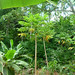 Papaya Tree in Fruit