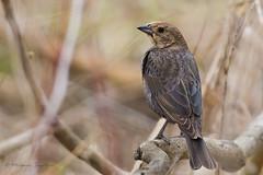 A53F0337 Brown-headed Cowbird (female) (~ Michaela Sagatova ~) Tags: bird nature fauna ave dundas brownheadedcowbirds dvca michaelasagatova