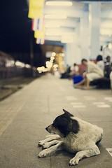 Critter # 25 (obo-bobolina) Tags: dog thailand critter railwaystation trainstation doggie suratthani