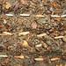seeds adenium 2