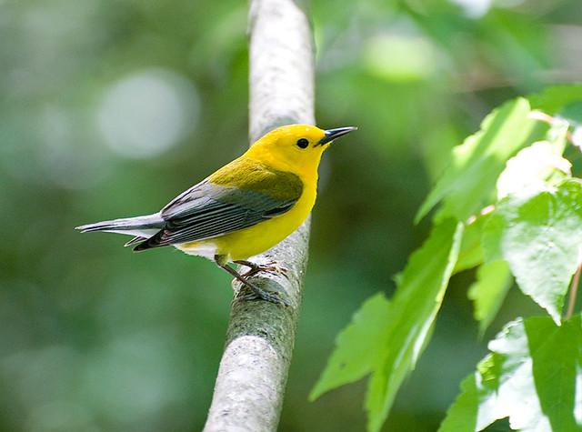 Prothornary Warbler