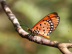 The Sunny Side of Life (SivamDesign) Tags: macro fauna canon butterfly insect eos rebel kiss x4 nymphalidae 550d tawnycoster t2i acraeaviolae canonefs18135mmf3556is