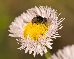 Little Fly On Fleabane In Spring (aeschylus18917) Tags: pink flowers flower macro nature yellow japan season insect fly spring weed nikon seasons blossom bloom  saitama nikkor  saitamaken diptera chichibu 105mm insecta erigeron fleabane  105mmf28 erigeronphiladelphicus flowerfly    philadelphiafleabane 105mmf28gvrmicro philadelphicus saitamaprefecture yokoze d700 hitsujiyamakoen nikkor105mmf28gvrmicro  hitsujiyamapark   nikond700  chichibushi danielruyle aeschylus18917 danruyle druyle   chichibugun yokozemachi