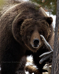 The Preacher, a Yellowstone Grizzly Bear (Daryl L. Hunter - The Hole Picture) Tags: closeup big yellowstonen