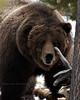 The Preacher, a Yellowstone Grizzly Bear (Daryl L. Hunter - Hole Picture Photo Safaris) Tags: closeup big yellowstonenationalpark grizzlybear thepreacher amazingwildlifephotography bisonkiller bigbisonkillerboargrizzlybearhugemalethepreacheryellowstonenationalparkyellowstonewyomingunitedstatesof