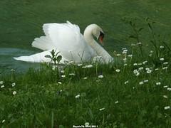 Le cygne et les paquerettes (Barnie76@ ,PLus présent) Tags: couleurs animaux blanc calvados cygne chteau tz7 mezidoncanoncalvadosnormandiepanasonic