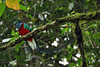 Boquete - Resplendent Quetzal (Drriss & Marrionn) Tags: travel nature birds outdoor wildlife panama tropics centralamerica pharomachrusmocinno quetzals taxonomy:class=sauropsida taxonomy:family=trogonidae taxonomy:binomial=pharomachrusmocinno taxonomy:order=trogoniformes taxonomy:genus=pharomachrus taxonomy:infraclass=aves taxonomy:subclass=avialae taxonomy:species=mocinno taxonomy:tribe=trogonini taxonomy:subfamily=trogoninae taxonomy:superorder=trogonomorphae