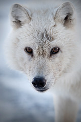 Wolf Close and Personnal (Frankverro) Tags: canada wildlife north hunting arctic hunter predator nunavut alert wolfpack teamwork northpole ellesmereisland arcticwolf canislupusarctos nippythewolf