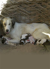 NOWZAD DOGS, A WONDERFUL CHARITY NEEDING SUPPORT, find them at www.nowzad.com (Lady Of The Hounds) Tags:
