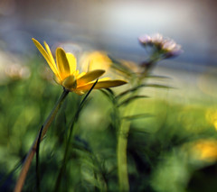 Little Buttercup (Anne Worner) Tags: blur flower yellow lensbaby buttercup bokeh selectivefocus wefi sweet35