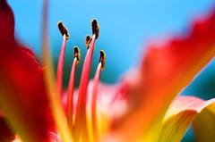 The Pillars of Enlightenment (La Branaro) Tags: park flowers flower film gardens austin garden 1 spring colorful texas dof lily kodak bokeh landmark olympus stamens depthoffield 35mmfilm daylily shallow om 160vc om1 kodakportra160vc springflowers zilker daylilies hemerocallis brightcolor exuberance exuberant kodakfilm portra160vc vividcolor zilkerbotanicalgarden flowercenter sunworshipper springcolor flowerdetail zuiko50mmmacro 50mmf35macro flowerstamens zuikomacro daylilyflower austindaylilysocietygarden