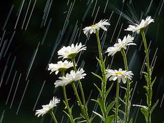 [フリー画像] 花・植物, ヒナギク・デイジー, 雨, 201105200700