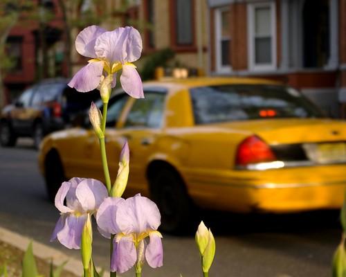 IMGP8611rd - Iris & Cab, Gaudy, Gaudy