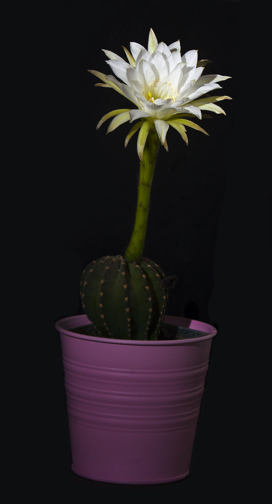 Flower from Cactus (C&C welcome)