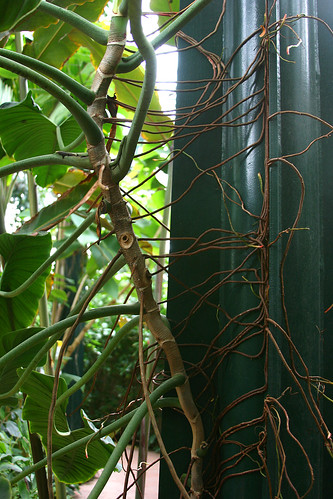 huntington philodendron anchor roots