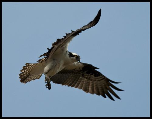 Osprey 13 by Jen St. Louis