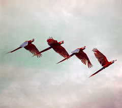 A Chorus Line (Peggy Collins) Tags: red texture flock tropical birdsinflight tropics parrots textured flockofbirds birdflock mackaws achorusline flyingbirds featheryfriday bej scarletmackaws peggycollins ubej distressedtextures flockofparrots