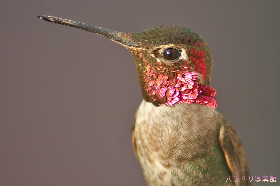 Anna's Hummingbird 050511