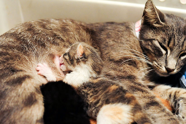 cute rescue kitten nursing cat mama
