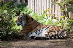 Amur Tiger (Harri_1970) Tags: wallpaper nature suomi finland zoo helsinki tiger eep siberiantiger korkeasaari pantheratigrisaltaica amurtiger carnivora felidae amurintiikeri europeanendangeredspeciesprogram