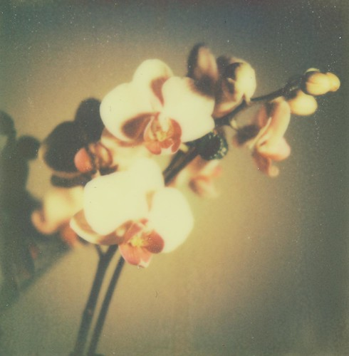 Nº 90 of 365 days of film: Orchid II by Penlington Manor
