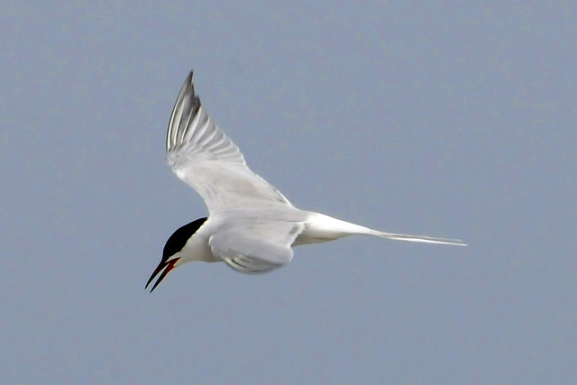 Roseate tern flying II 2011