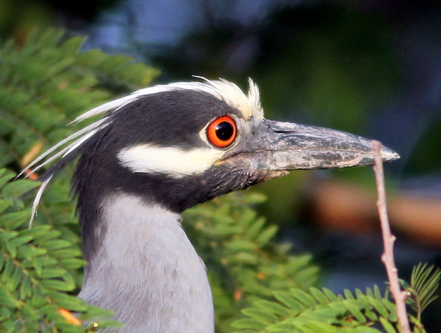 Yellow-crowned Night-Heron 4-20110526