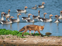 Red Fox among Greylag Geese (Tony McLean) Tags: redfox 2011 tophilllow nikond3 nikon500f4gvr tonymclean
