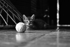Petit Marie (Thile Elissa) Tags: ri bw baby animal marie nikon pb mimi gato linda gata felino beb bola amo filhote bicho pequena petit linha gatinha l novelo minscula d3000 nikond3000 thileelissa