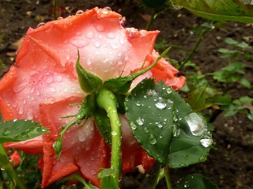 troppa pioggia sulla rosa