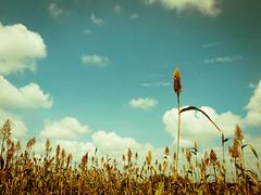 Elysium (legends2k) Tags: blue sky clouds lumix farm roadtrip panasonic crop fields g1 sorghum elysium hyderabad midday gladiator biketrip srisailam jowar kambu panasonicdmcg1 microfourdsthirds fourdsthirds