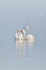 Tenderness (Eye for emotion) Tags: love water birds animals swans tender tqp tqf