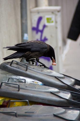 Un cuervo rebuscando en la basura