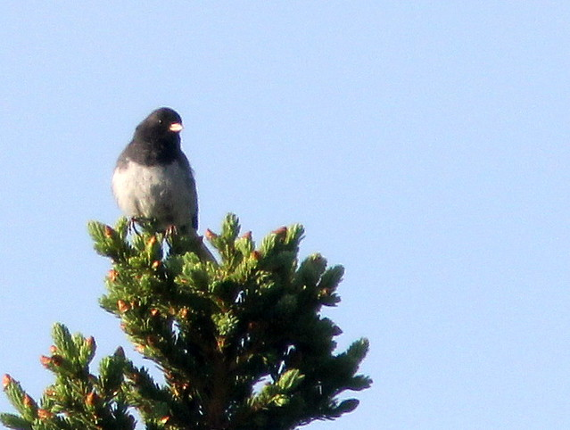 Dark-eyed Junco 20110619