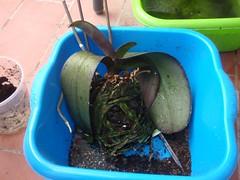 P6180056 (desdelterrat) Tags: orquideas transplantes