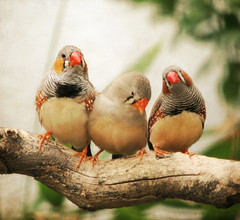 [フリー画像] 動物, 鳥類, 錦花鳥・キンカチョウ, 201106271700