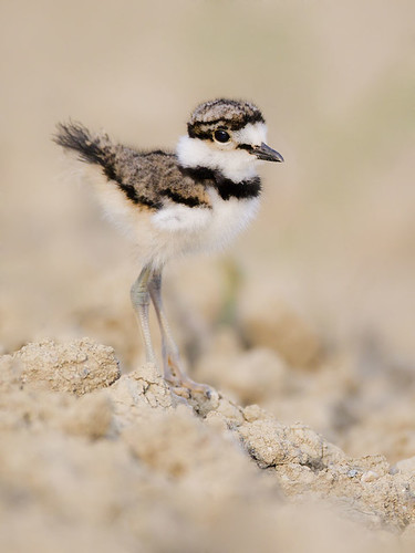 Carolle's Little Killdeer 1 by Jeff Dyck