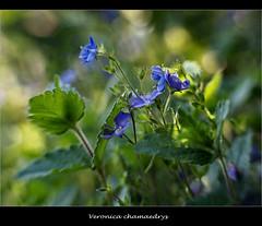 Germander Speedwell - (Veronica Chamaedrys ) (Anne Worner) Tags: blue blur flower lensbaby bokeh germanderspeedwell veronicachamaedrys wefi sweet35